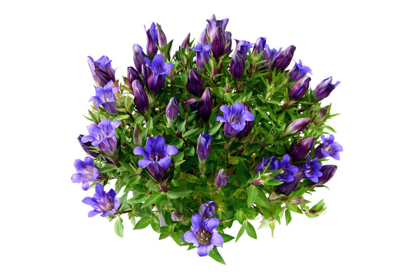 flowerpot of blue gentian on white isolated background Blooming Blossom Blue Botany Close-up Cut Out Flower Flower Head Growth Nature No People Petal Plant Purple Stem Studio Shot White Background Gentian Gentian Flower Gentian Blue Gentian Plant