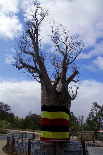 Boab @kings park WA Kingspark Perth Boab Tree