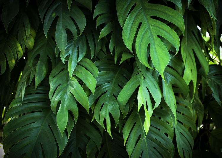 tropical jungle monstera leaves , Swiss Cheese leaf tree Leaf Plant Freshness Fern Palm Leaves🌿 Green Shrub Tree Tropical Botany Monstera Foliage Frond Swiss Cheese Growth Nature Tranquility