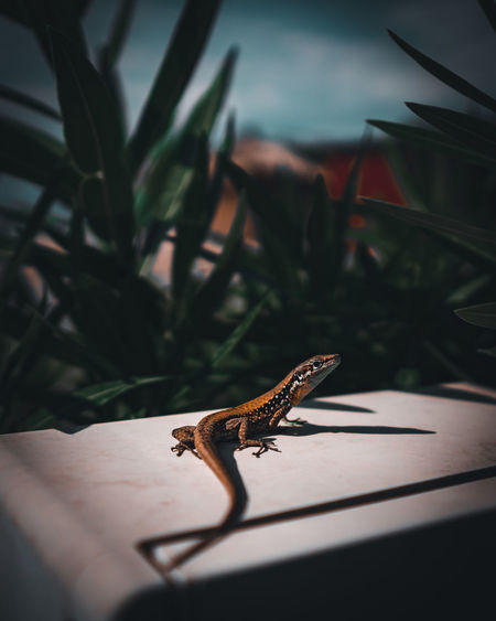A selective focus shot of a cute small lizard hanging out. colorful small reptile.
