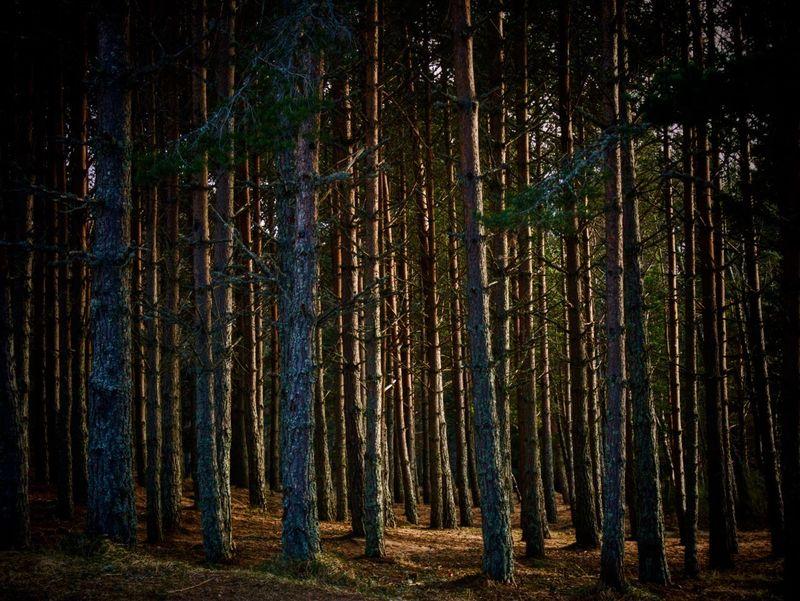 Highland Forest Loch An Eilein Forest Tree Sun Light WoodLand Tranquility No People Landscape Scotland