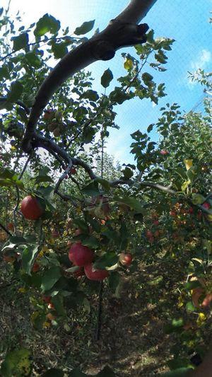 リンゴ畑 Apple リンゴ狩り Theta360