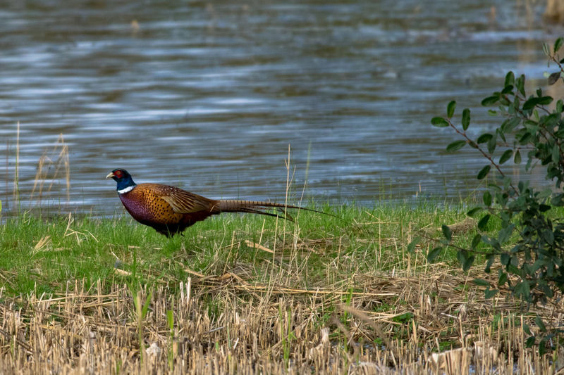 Pheasant Pheasant Feathers Animal Themes Animal Wildlife Animals In The Wild Beauty In Nature Bird Close-up Day Duck Field Grass Lake Nature No People One Animal Outdoors Pheasant Season Pheasants Pheasants Forever ~ Water