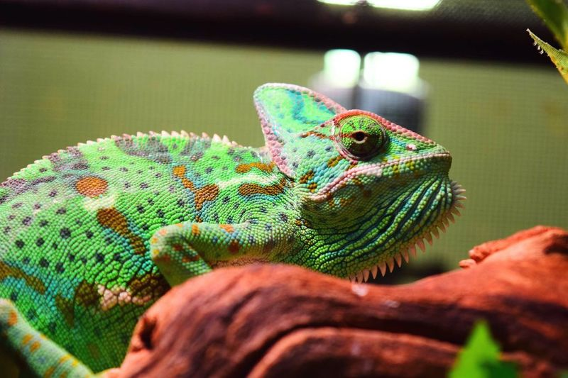 Close-up of chameleon