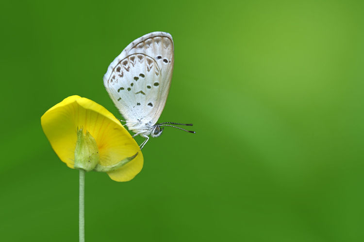 Butterfly Zizina otis indica/Lesser Grass Blue sits on the yellow flower (Arachis pintoi), isolated green background Yellow Flower Beautiful, Flowers,Plants & Garden Insect Macro  Isolated Nature Zizina Otis Indica Animal Themes Arachis Pintoi Butterfly Close-up Day Flower Flower Collection Flowers, Nature And Beauty Fragility Green Background Insect Insect Photography Insect Wings Leaves_collection Lesser Grass Blue Nature No People Outdoors