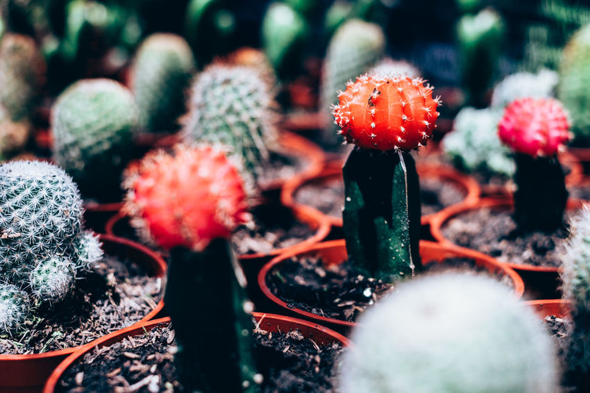 Arranged Backgrounds Beauty In Nature Cactus Close-up Contrast Copy Space Day Fragility Freshness Gardening Green Color Growth Low Maintenance Nature Outdoors Plant Potted Plant Red Selective Focus Succulent Thorn