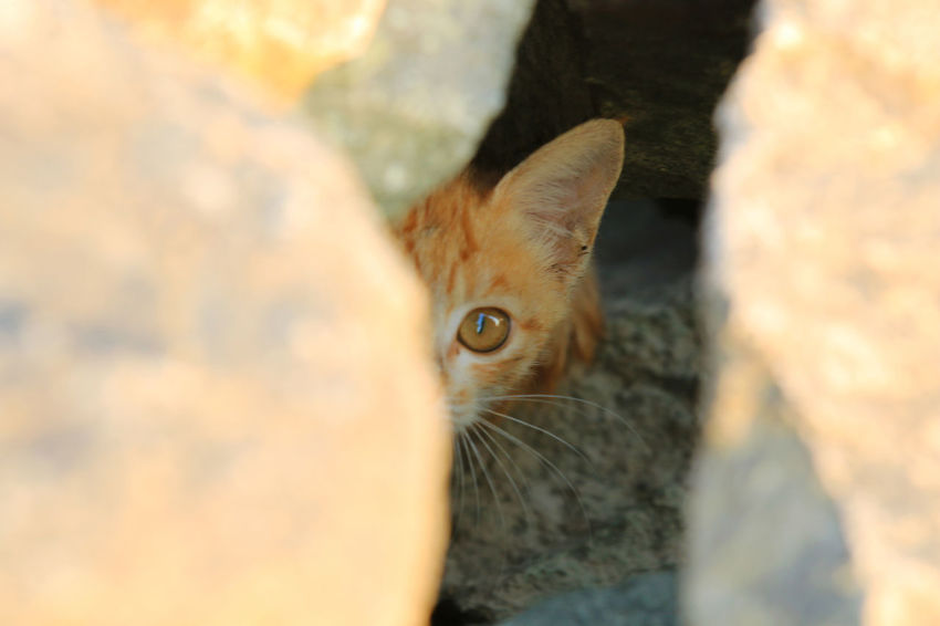 A curious little cat Looking At Camera Portrait Cave Hiding Close-up Animal Head  Little Beautiful Cute Fur Animal Themes Pet Feline Rock Curious Mammals Vertebrate Domestic Animals Adorable Yellow High Angle View Summer Sunset Light And Shadow Seletive Focus Kitten Young Animal Yellow Eyes Cat Animal Ear