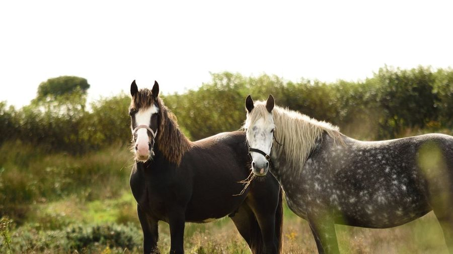 Horses near Galway, Ireland Wild Horses Wildlife Wildlife & Nature Galway Beautiful Horse Beautiful Nature White Sky Bokeh Countryside Horse Domestic Animals Animal Agriculture Cute Livestock Rural Scene Grass Outdoors Animal Themes Beauty Standing Looking At Camera