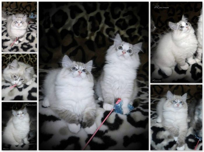 Пушистики мои. мои кошки, питомник невских маскарадных невак на двине Cat Cats Nevskaya Maskaradnaya