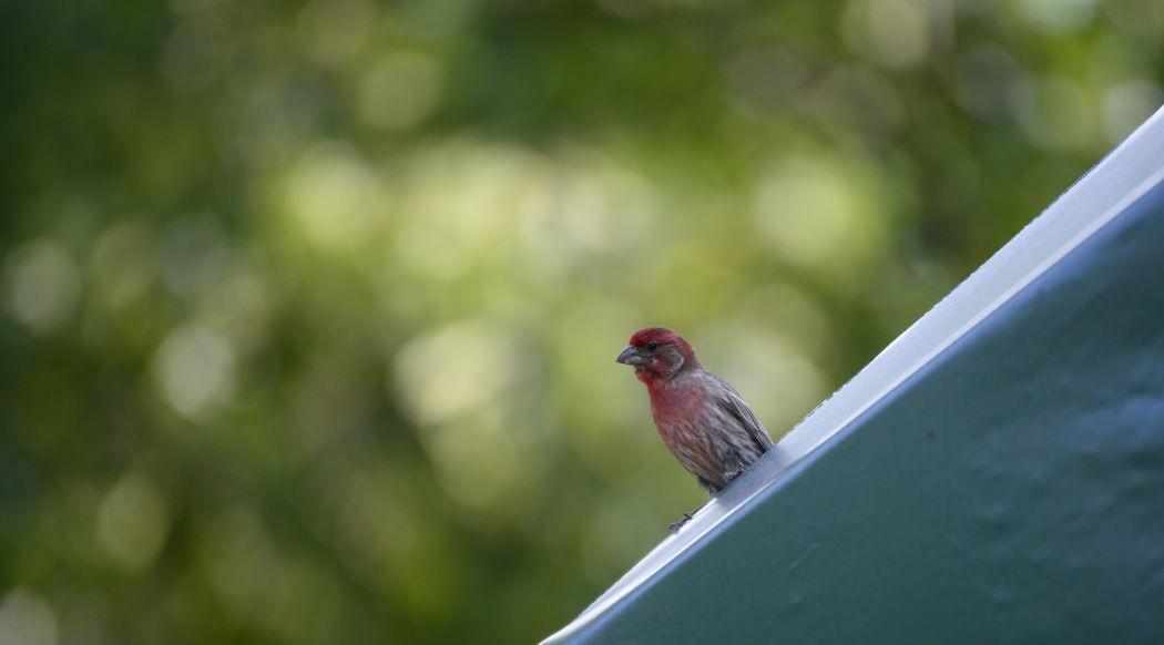 Animal Animal Themes Animal Wildlife Bird House Finch Nature No People Sparrow Wildlife
