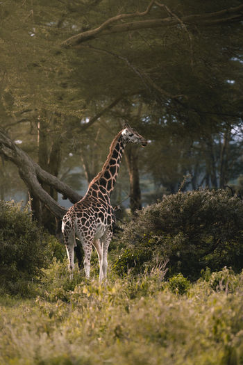 Giraffe standing on field in a forest