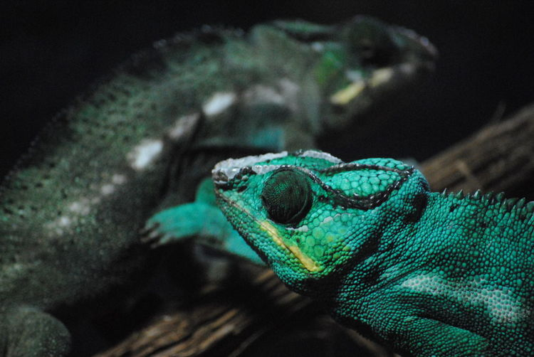 Close-up of chameleons on branch at night