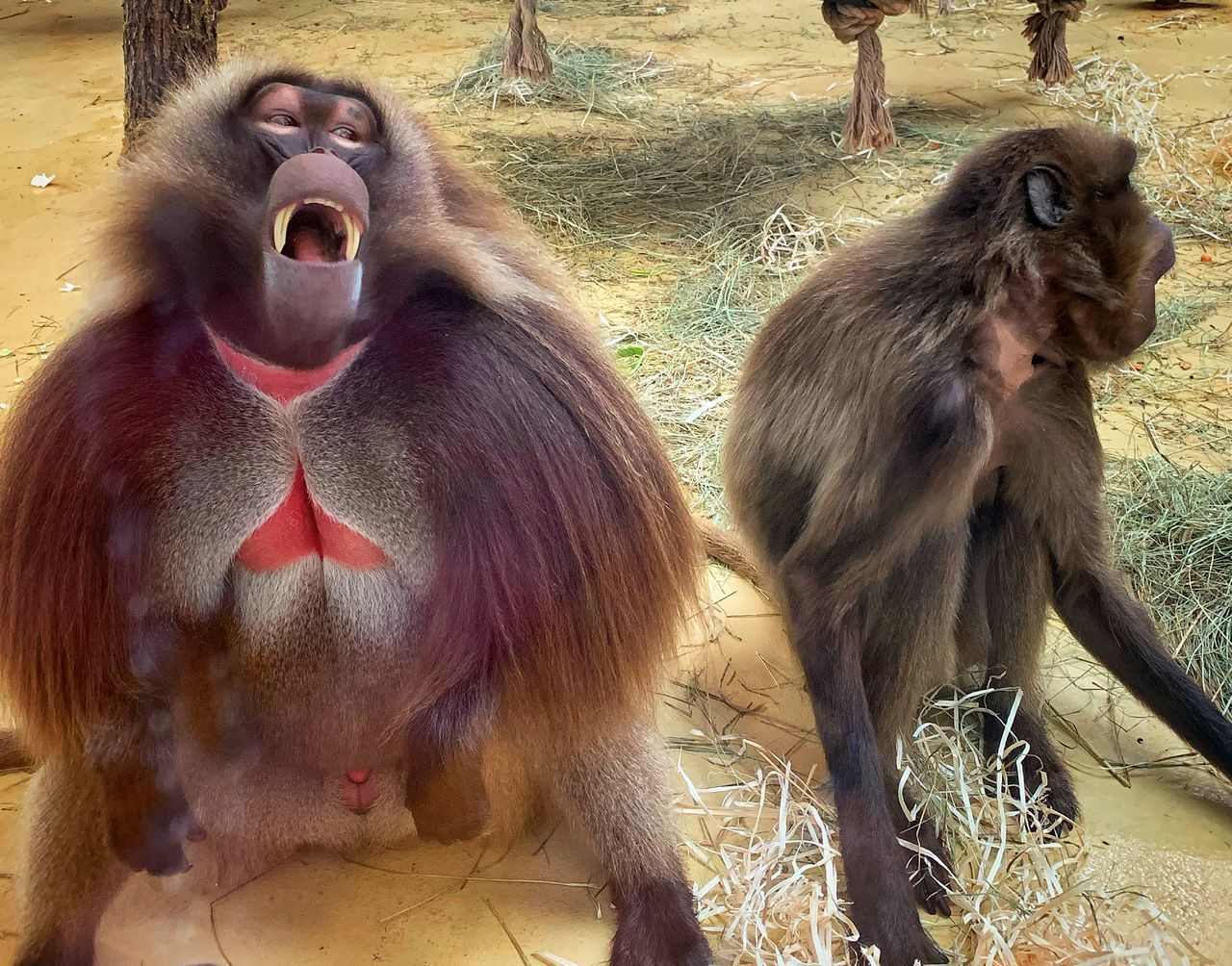 primate, mammal, group of animals, animal wildlife, two animals, animals in the wild, vertebrate, day, no people, zoo, sitting, ape, outdoors, young animal, nature, animals in captivity, animal family, baboon, mouth open