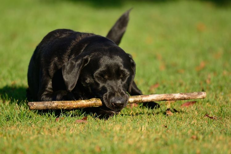 Black labrador on field