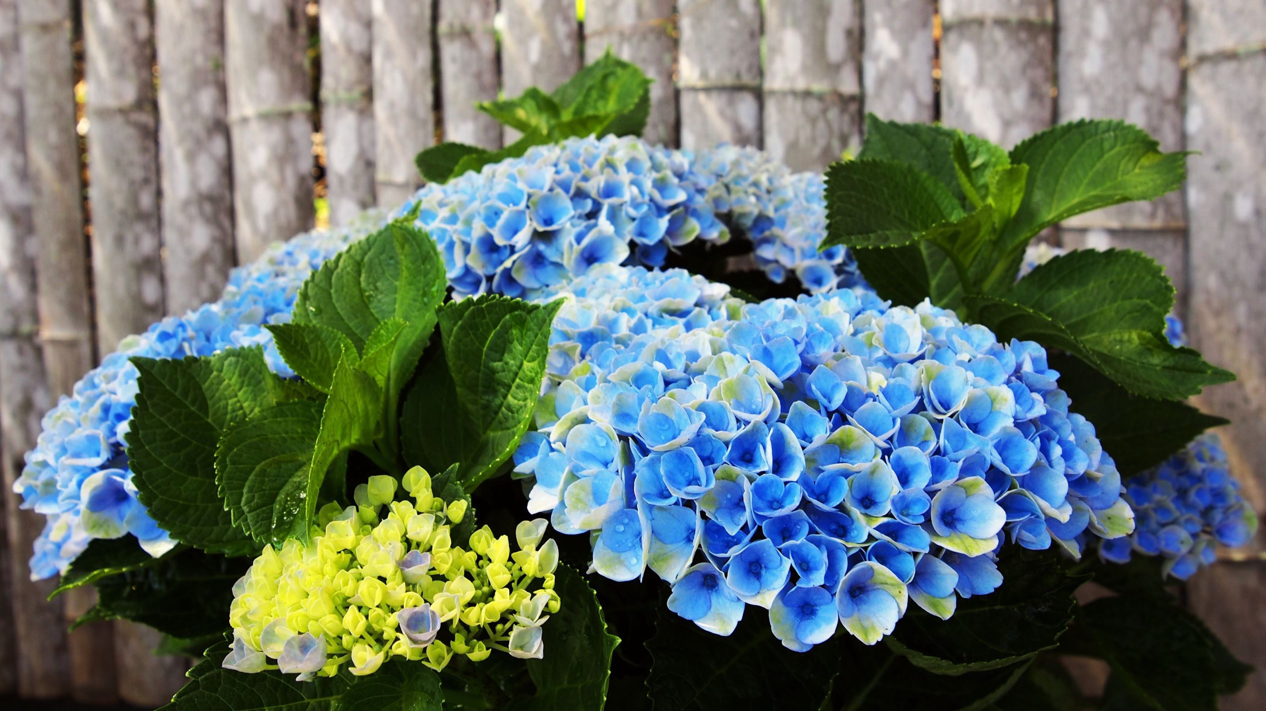 flower, growth, freshness, fragility, beauty in nature, leaf, nature, petal, plant, green color, blue, flower head, outdoors, day, hydrangea, purple, blooming, no people, close-up