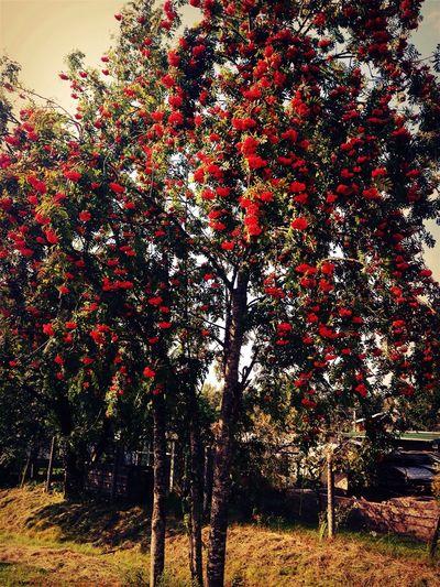 Tree Almostautumn Berries Orange