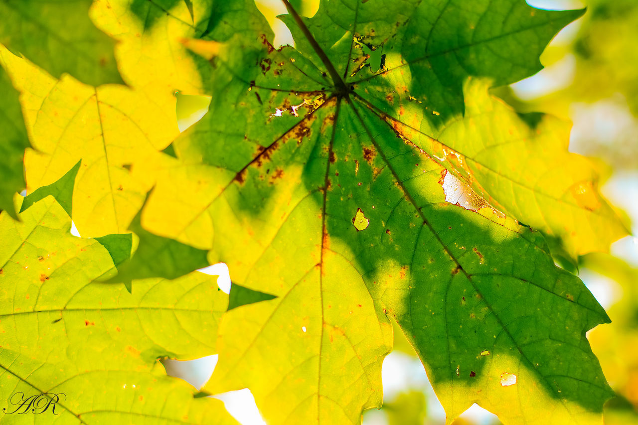 leaf, leaves, green color, nature, autumn, maple leaf, growth, close-up, no people, day, maple, beauty in nature, outdoors, plant