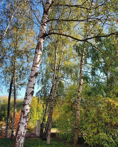 Birch Tree Tree