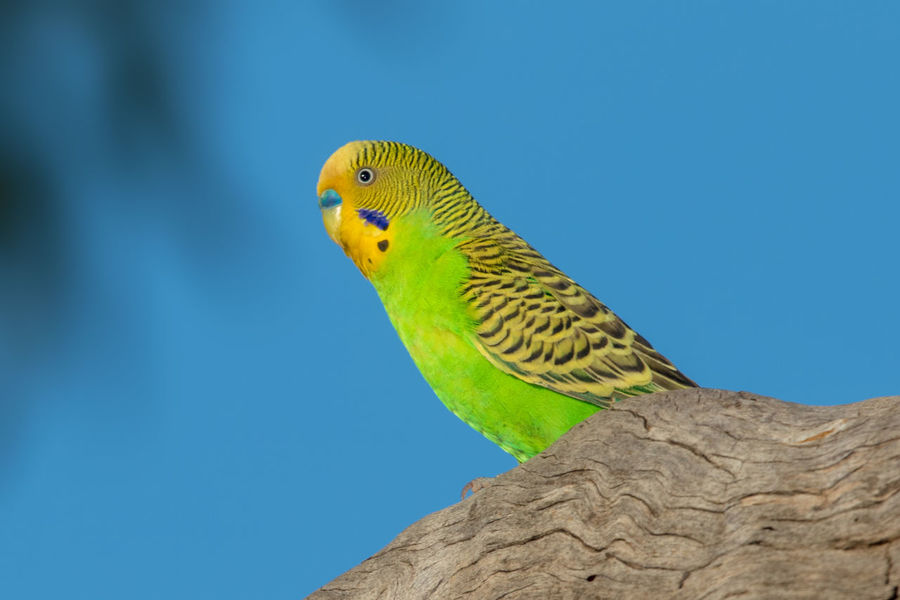 Budgerigar male in the wild Budgerigar Kimberley Australia Melopsittacus Undulatus Animal Themes Animal Wildlife Animals In The Wild Beauty In Nature Bird Blue Day Nature No People One Animal Parrot Wellensittich