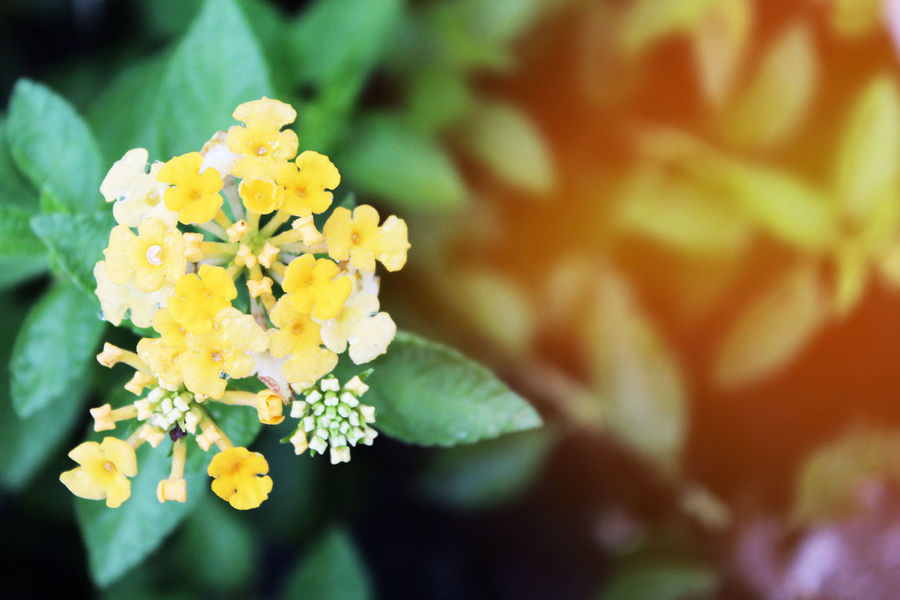 Beautiful yellow flower closeup in the morning. Flower Blossom Yellow Flower Beauty In Nature Blooming Blooming Flower Close-up Day Flower Flower Head Focus On Foreground Fragility Freshness Growth Lantana Camara Leaf Flower Leaf Tree Nature No People Outdoors Petal Plant Yellow Yellow Color