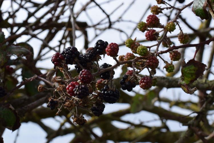 Seasonal berries. Tree Red Berrys