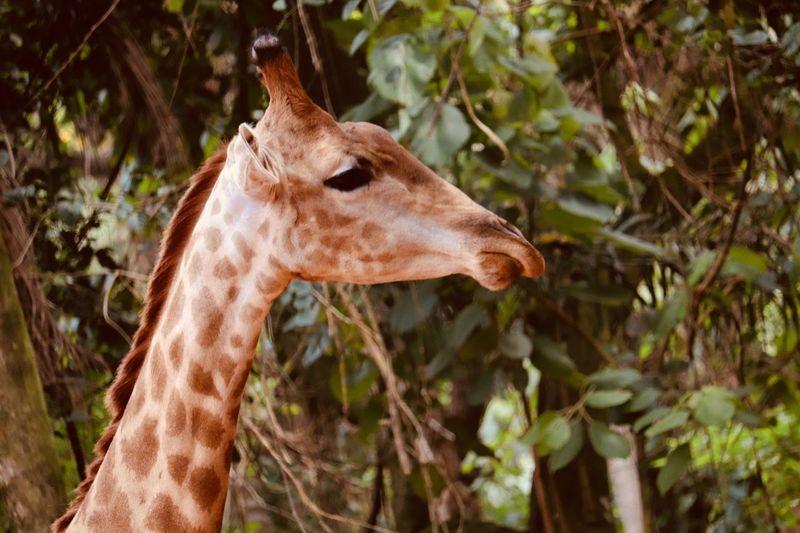 Girafa Giraffe One Animal EyeEmNewHere Perspectives On Nature