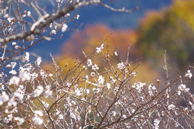 桜山公園 冬桜 桜 秋