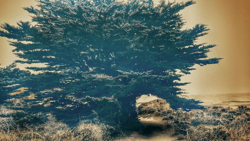 Treegasmic Tuesday Treetastic TreePorn EyeEm Nature Lover Point Lobos Carmel Tree Hanging Tree Green