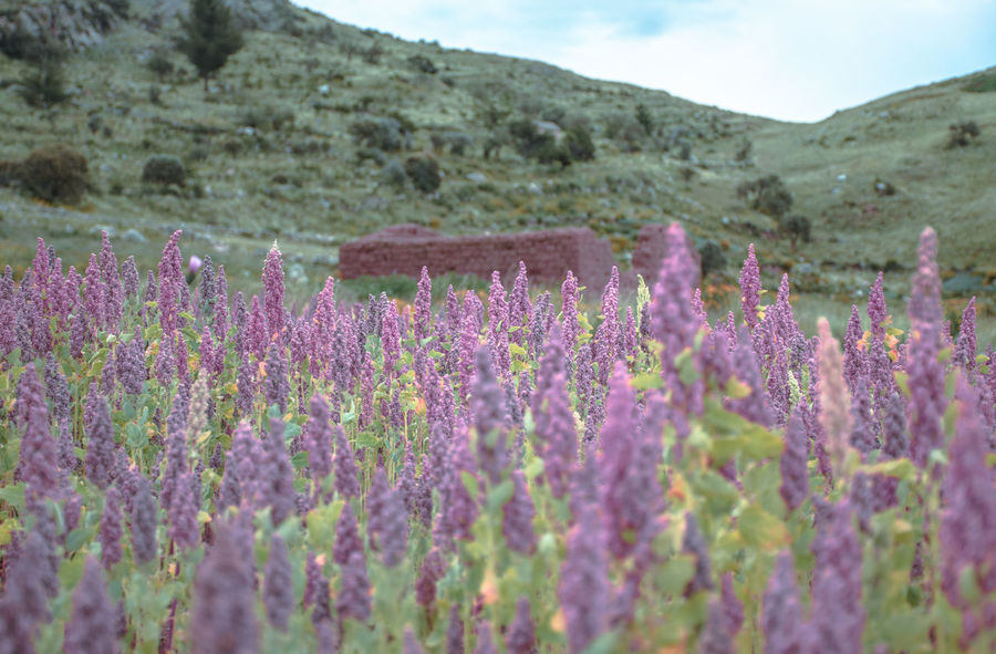 Agriculture Beauty In Nature Close-up Day Field Flower Fragility Freshness Growth Landscape Lavender Mountain Mountain Range Nature No People Outdoors Plant Purple Rural Scene Scenics Sky Tranquil Scene Tranquility