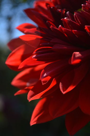 Beauty In Nature Blooming Close-up Day EyeEm Nature Lover Flower Flower Head Fragility Freshness Growth Nature No People Outdoors Petal Plant Red Summer Sunlight