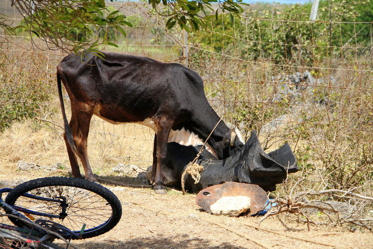 Cow drinking water from tire on field