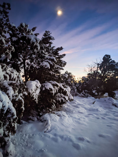 Snow covered plants by trees against sky during sunset