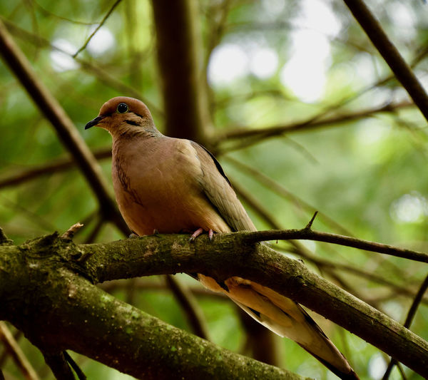 Mourning Dove Animal Themes Animal Wildlife Animals In The Wild Beauty In Nature Bird Close-up Day Focus On Foreground Mourning Dove Nature No People One Animal Outdoors Perching Tree First Eyeem Photo