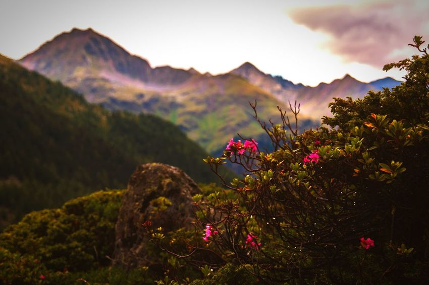 Alpenrose Alps Alps Austria Osttirol Oesterreich Österreich Easttyrol Rose - Flower Roses Alpen Mountain Nature Landscape Flower Outdoors Scenics No People Beauty In Nature Mountain Range Sunset Flower Head Tree Springtime
