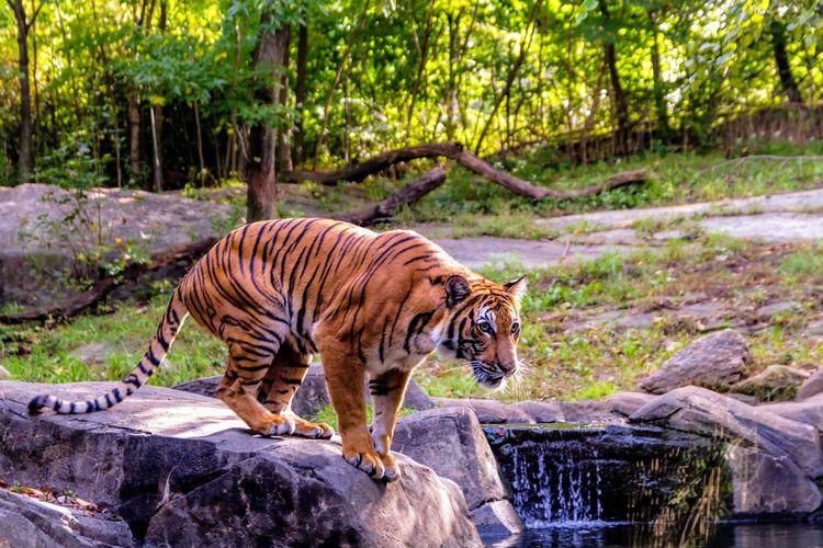 Tiger Leopard