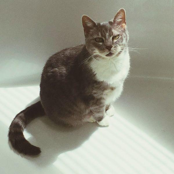 My cat Graycie Pets Domestic Cat Feline Sunbathing Cat First Eyeem Photo