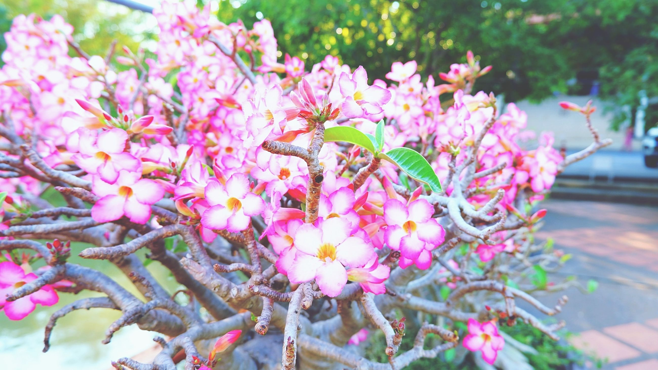 plant, flower, flowering plant, pink, beauty in nature, freshness, blossom, fragility, growth, nature, tree, close-up, no people, day, springtime, focus on foreground, branch, shrub, spring, outdoors, petal, flower head, inflorescence, botany, selective focus