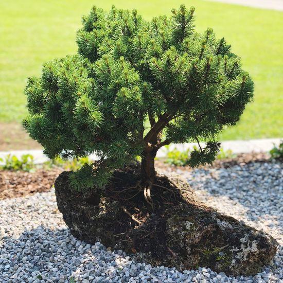 Miniaturbaum Klein Garten Selten Tuffstein Bonsai Kleiner Baum Rarität Bergföhre Growth Plant Nature Tree Day No People Sunlight Bonsai Tree Outdoors