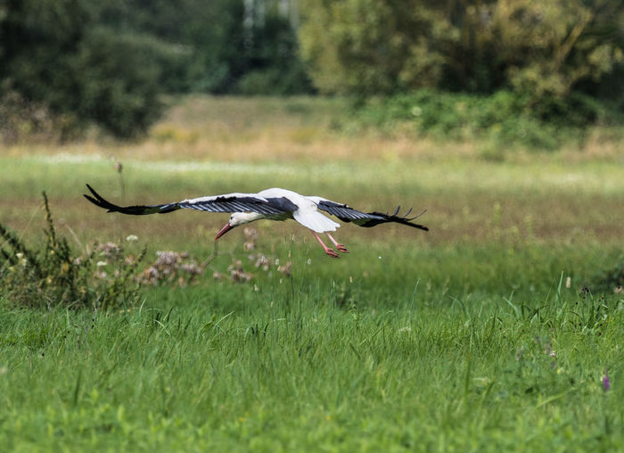 Stork on a field in flight looking for food Animal Animal Themes Animal Wildlife Animal Wing Animals In The Wild Bird Day Field Flying Grass Green Color Land Mid-air Motion Nature No People One Animal Outdoors Plant Selective Focus Spread Wings Stork Stork In Flight Blade Of Grass Migrating