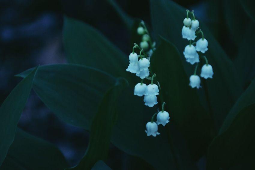 鈴蘭 谷間の姫百合 君影草 Lily Of The Valley Flowering Plant Flower Plant Close-up Growth Beauty In Nature Vulnerability