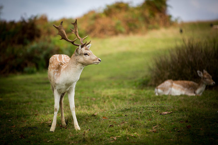 Animal Themes Animal Wildlife Animals In The Wild Antler Close-up Day Deer Grass Knole Park Mammal Nature No People One Animal Outdoors Stag