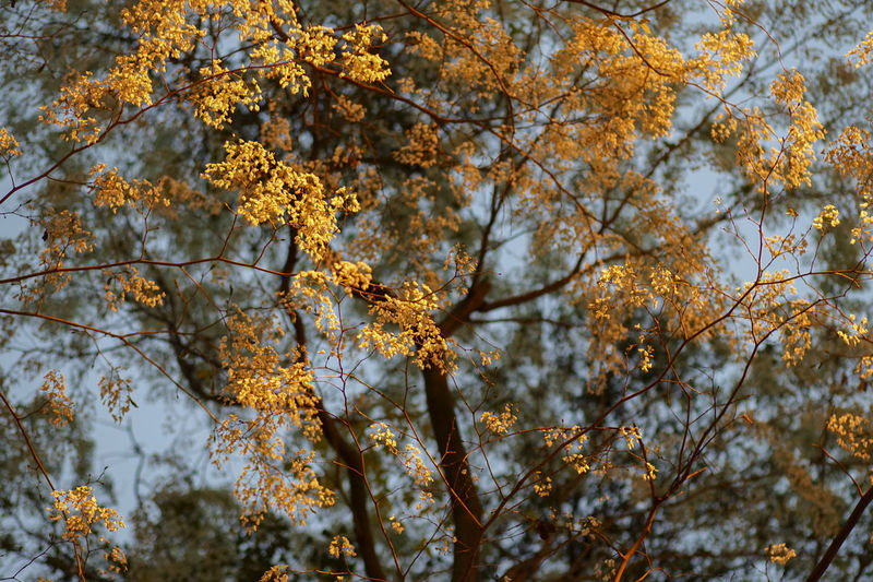 Dalbergia tonkinensis flower Nice Atmosphere Travel Photography Afterlight Flower Collection Gold Colored Light And Shadow Stockphotography Tree_collection