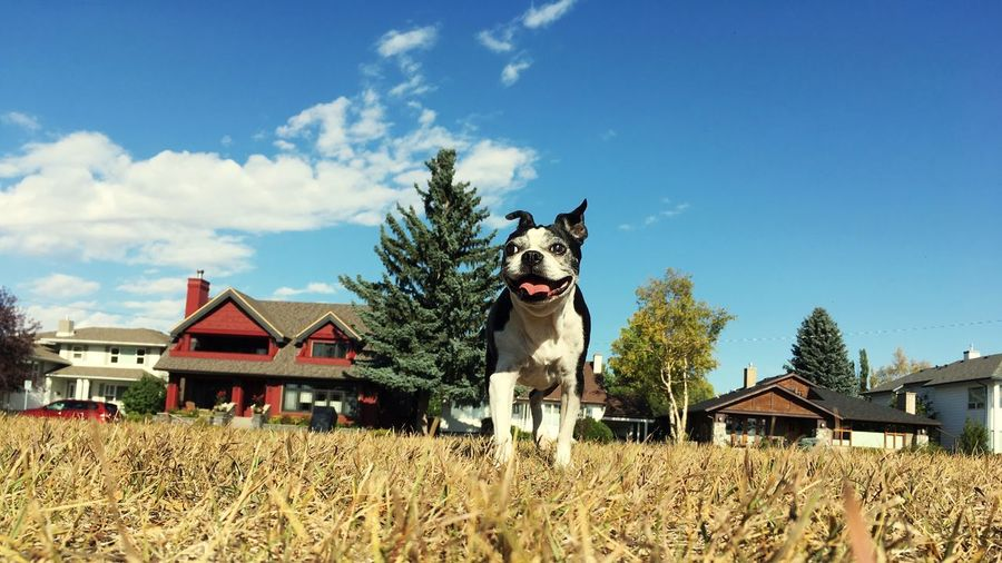 Cute boston terrier dog on grass against sky