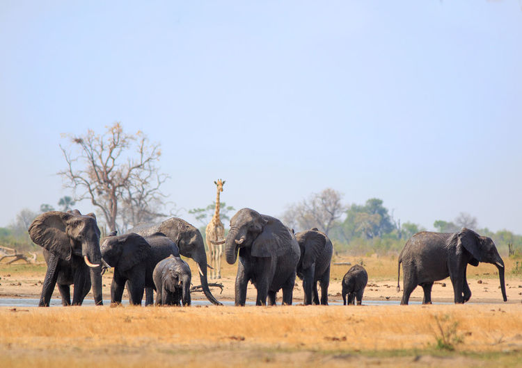 Animal Animal Themes Mammal Elephant Animal Wildlife Group Of Animals Animals In The Wild Sky Day Large Group Of Animals African Elephant Outdoors Herd Hwange National Park Beauty In Nature, Wildlife & Nature Wildlife Photography Nature Copy Space No People Clear Sky Africa