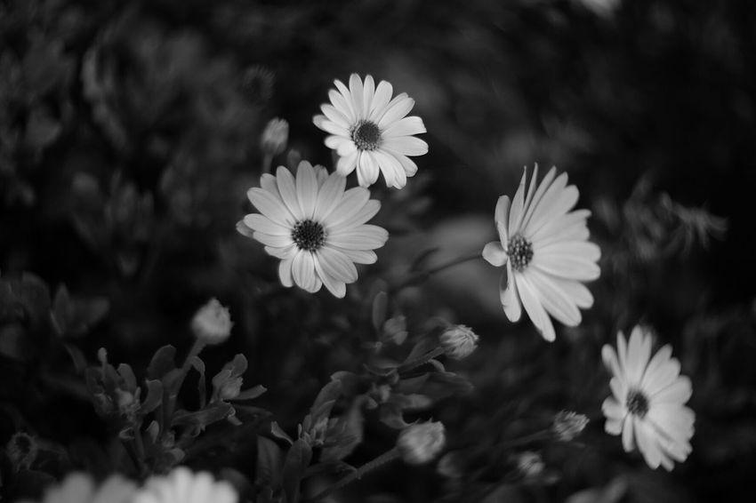 Give me flowers while I can still smell them Flowers Bokehlicious Pancolar 50mm F2 FUJIFILM X-T1 Fuji X-T1 Natural Collection Black And White Photography Flower EyeEm Nature Lover Yeah Springtime!