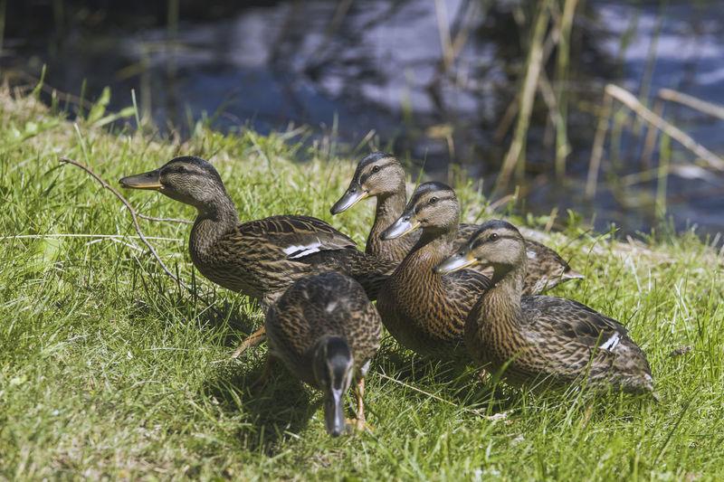 Mallard duck on field by lake