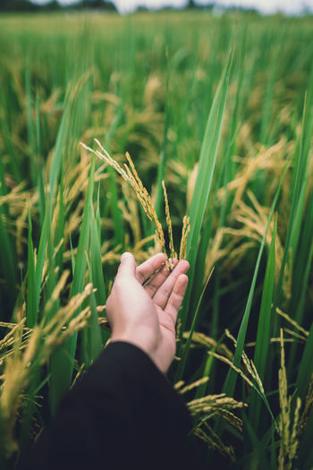 Cropped hand of person holding crop in field