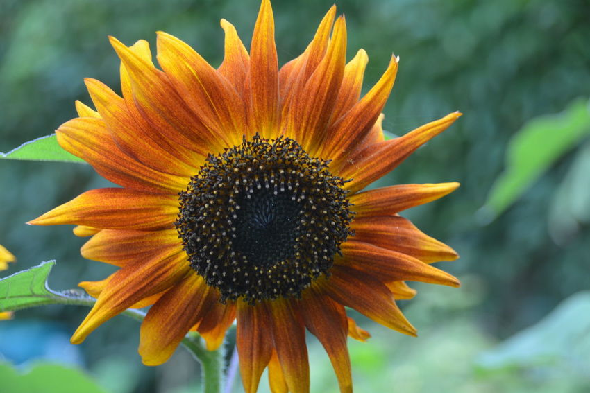 Beauty In Nature Close-up Coneflower Day Flower Flower Head Flowering Plant Focus On Foreground Fragility Freshness Gazania Growth Inflorescence Nature No People Outdoors Petal Plant Pollen Sepal Sunflower Vulnerability  Yellow
