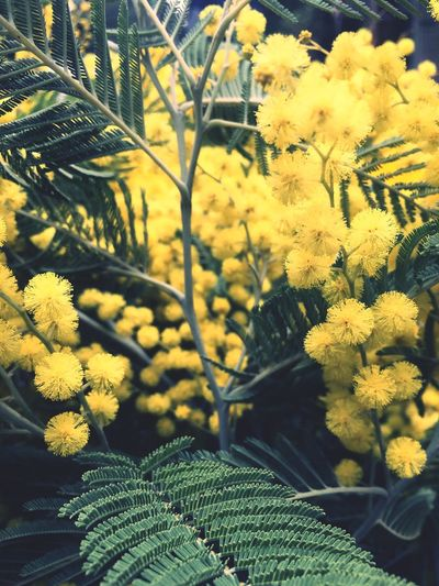 международныйженскийдень 8 марта 8 Marzo 8 March Womans Day Womansday Mimosa Tree Mimosa Flowers International Women's Day Growth Nature Flower Yellow Plant Beauty In Nature No People Selective Focus Outdoors Close-up Fragility Day Freshness