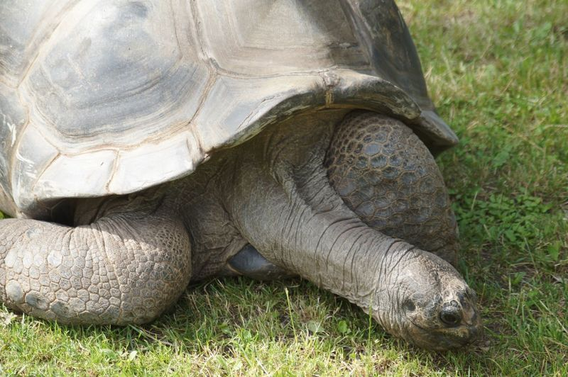 Close-up of galapagos giant tortoise on grassy field